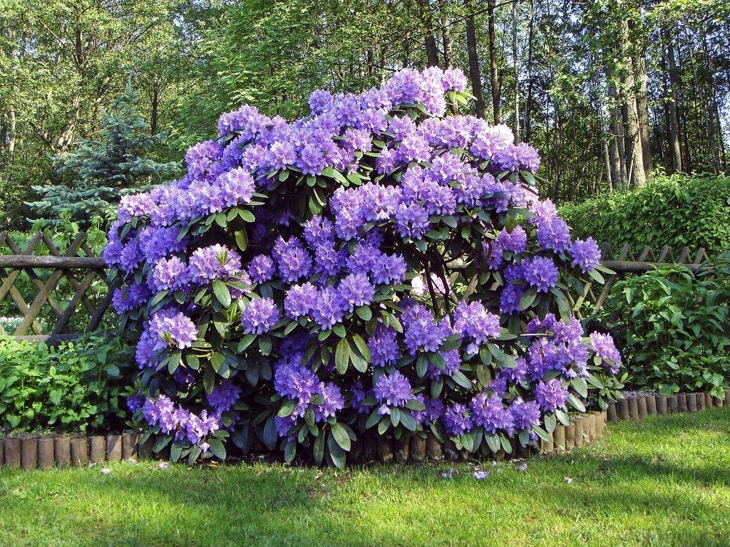 plantez des rhododendrons dans un massif de terre de bruy re. Black Bedroom Furniture Sets. Home Design Ideas